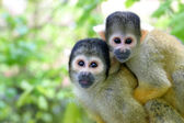 Familie squirrelmonkey — Stockfoto