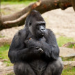 Gorilla male — Stock Photo