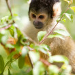 Squirrel monkey — Stock Photo #3182588