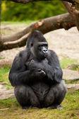 Gorilla male — Stock Photo