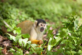 Squirrelmonkey — Stock Photo