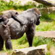 Mother gorilla with young — Stock Photo
