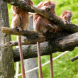 Three monkeys in a row - Stock Photo