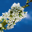 Blossoming branch — Stock Photo #2975694