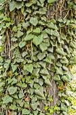 Ivy park — Stok fotoğraf