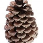 Big Dry Pinecone isolated — Stock Photo #2972039