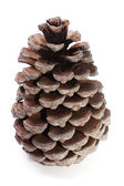 Big Dry Pinecone isolated — Stock Photo