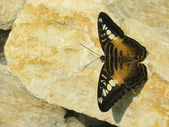 Brown Butterfly on the Stone — Stock Photo