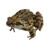 Brown Frog isolated — Stock Photo