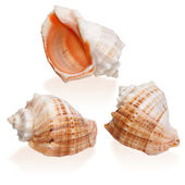 Three Orange Seashells isolated — Stock Photo