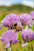 Bumblebee on a purple Flower 1 — Stock Photo