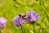 Bumblebee on a purple Flower 2 — Stock Photo