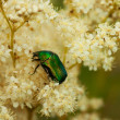 Stock Photo: Green Scarab Beetle