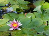 Pink waterlilly — Stock Photo