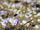 Bumble bee — Stock Photo