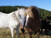 Cavalos e amor — Foto Stock