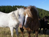 Horses and love — Photo