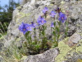 Mountain flowers and stone. — Stock Photo
