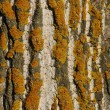 Poplar bark. — Foto Stock