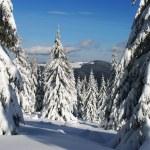 Winter fur-trees. — Stock Photo