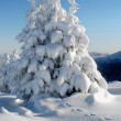 White fur-trees — Stock Photo