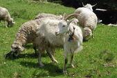 Keçi ve koyun yeşil yamaç. — Stok fotoğraf