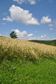 Rye bed in a summer rural landscape — Stok fotoğraf