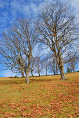Old beeches on a mountain autumn slope. — Foto Stock
