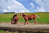 Horses at a feeding trough with salt. — Foto Stock