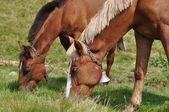牧草地の馬. — ストック写真