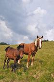 在一个山坡上的马. — 图库照片