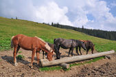 Horses at a feeding trough with salt — Foto Stock