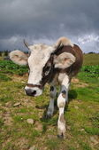Cow on a hillside — Stock Photo