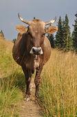 Vaca na pista. — Foto Stock