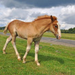 Royalty-Free Stock Photo: Foal