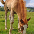 Royalty-Free Stock Photo: Foal.