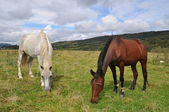 Horses on a summer pasture — Stock Photo