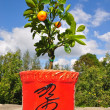 Dwarfish tree a tangerine. — Stock Photo #3908983