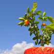 Dwarfish tree tangerine. — Stock Photo #3908986