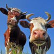 Cows on a summer pasture. — Stock Photo #3909157