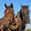 Two horses in a team — Stock Photo
