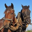 Stock Photo: Two horses in a team