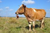 Vaca em uma pastagem de verão. — Foto Stock