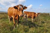 Vaca y el ternero en un pasto de verano. — Foto de Stock
