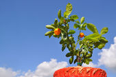 Dwarfish tree a tangerine. — Stock Photo