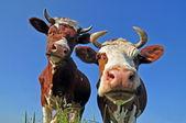 Vacas em uma pastagem de verão — Fotografia Stock