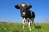 Kráva na letní pastviny. — Stock fotografie