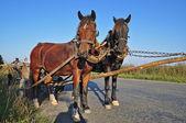 Due cavalli in un team — Foto Stock