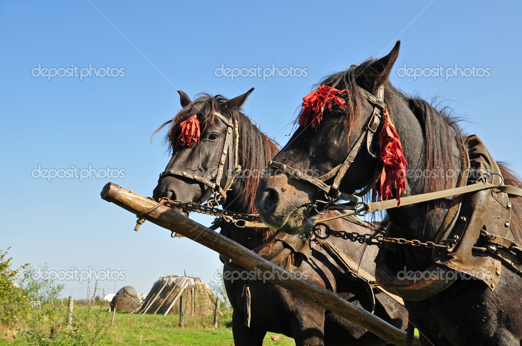 Two horses in one team in a summer rural landscape.  — Stock Photo #3909037