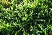Grass with Dew — Stock Photo